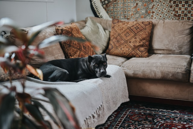 protect your sofa from pets with blankets